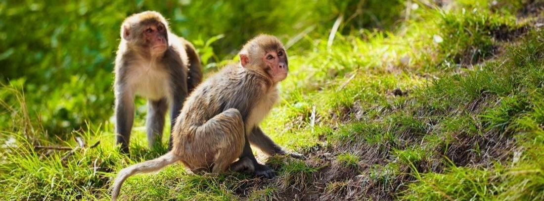 por qué no debemos tener monos como mascota