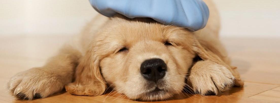 Perro blanco con orejas marrones y ojos cerrados sobre una cama