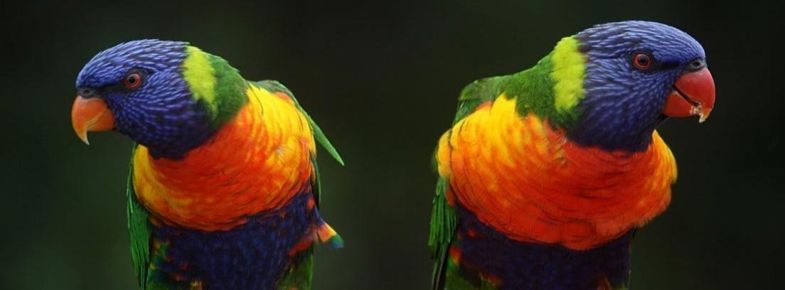 Aves que pueden hablar e imitar sonidos