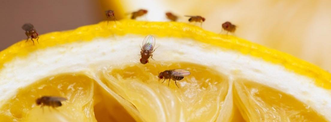 Trucos caseros para acabar con las moscas