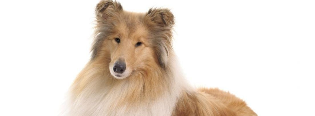 Raza rough collie