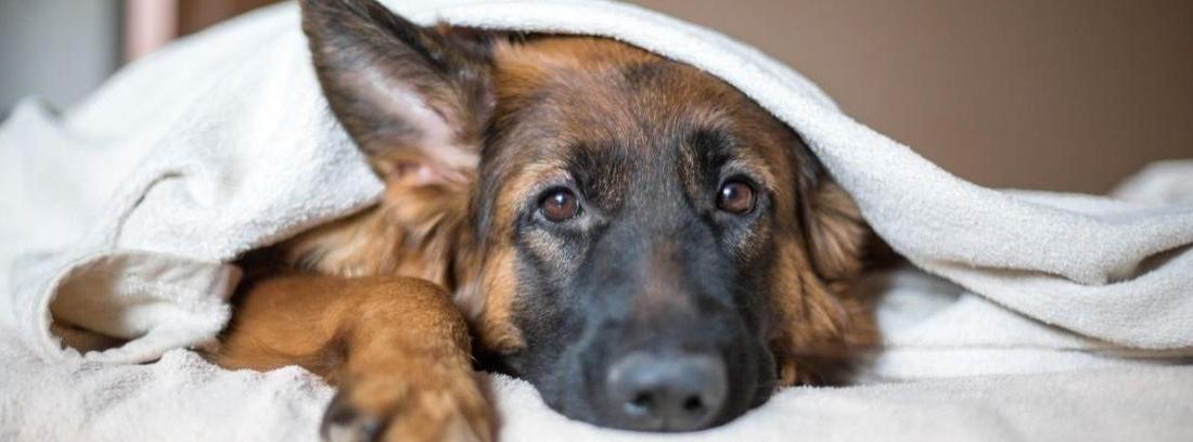 Síndrome de Cushing en perros mayores
