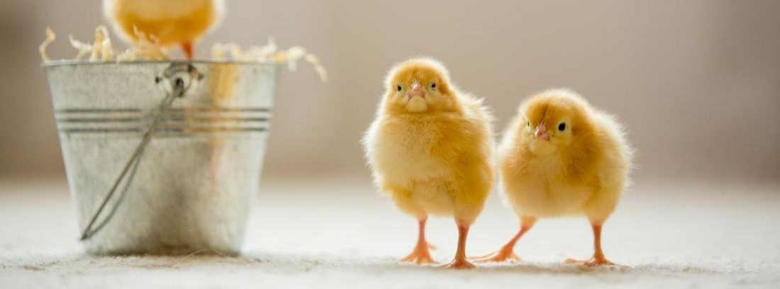 Criar a un pollito