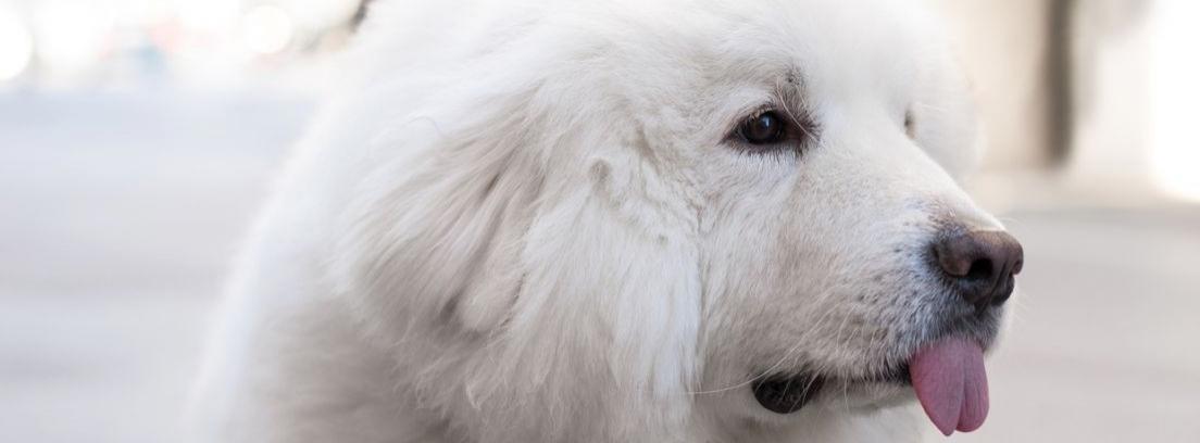 Características y cuidados de los perros de raza Terranova