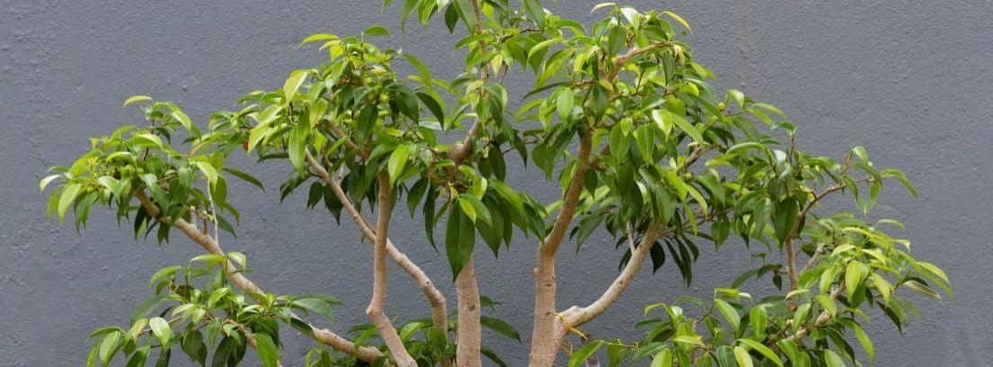 ¿Qué tipos de ficus puedo cultivar en casa?