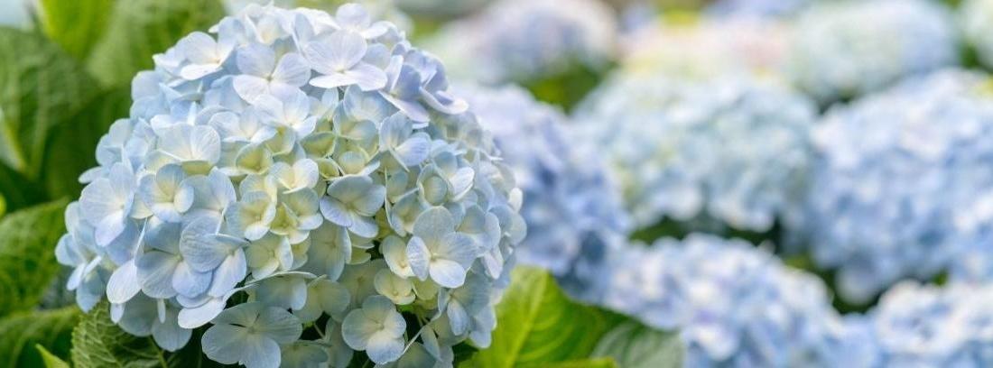 Tipos de hortensias y sus cuidados