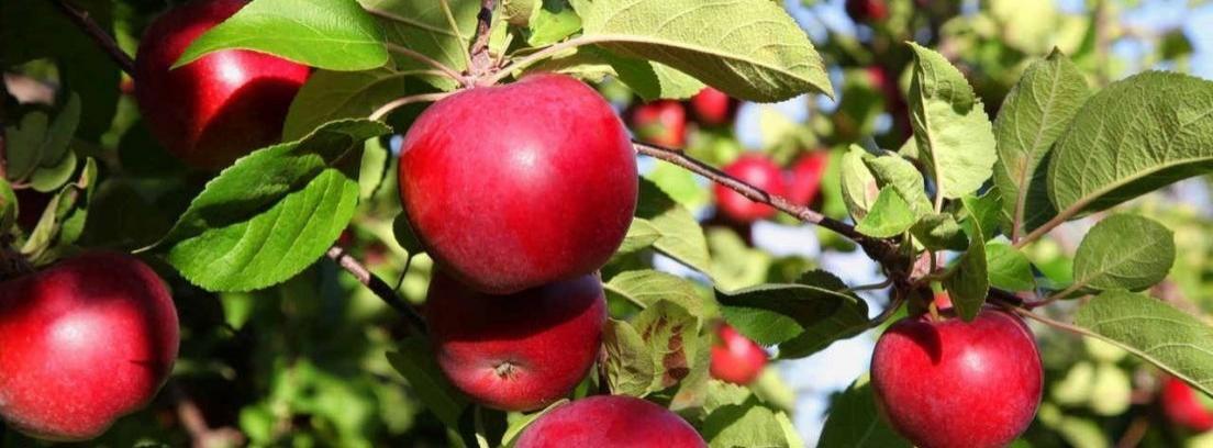 Diferentes tipos de manzanos