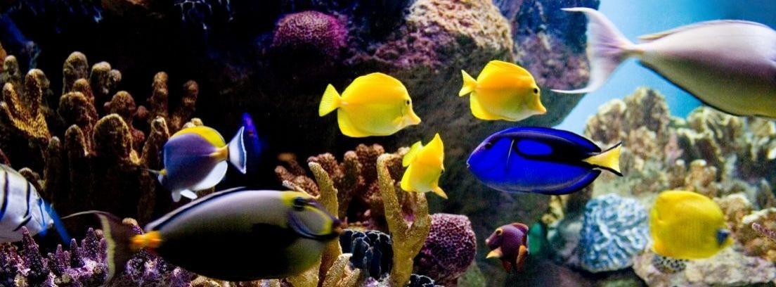 Peces tropicales para el acuario