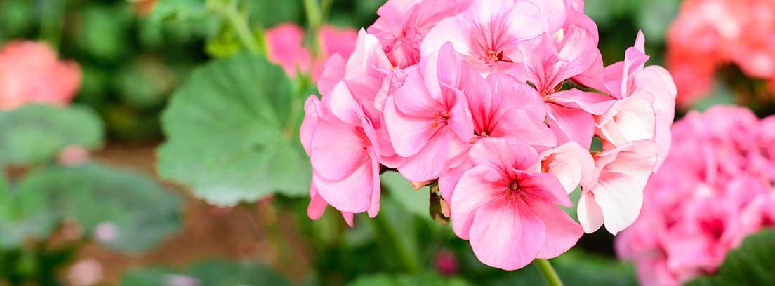 Primer plano de las flores de un geranio