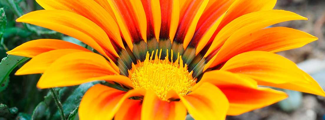 Flor de la Gazania de color naranja