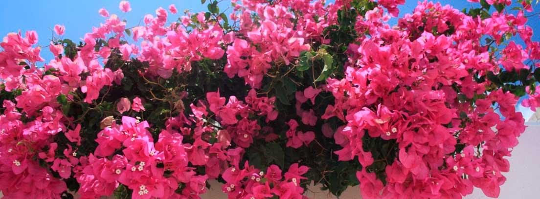Flores de buganvilla sobre un muro blanco