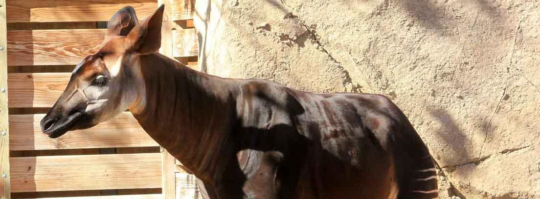 Okapi delante de pared y puerta de madera