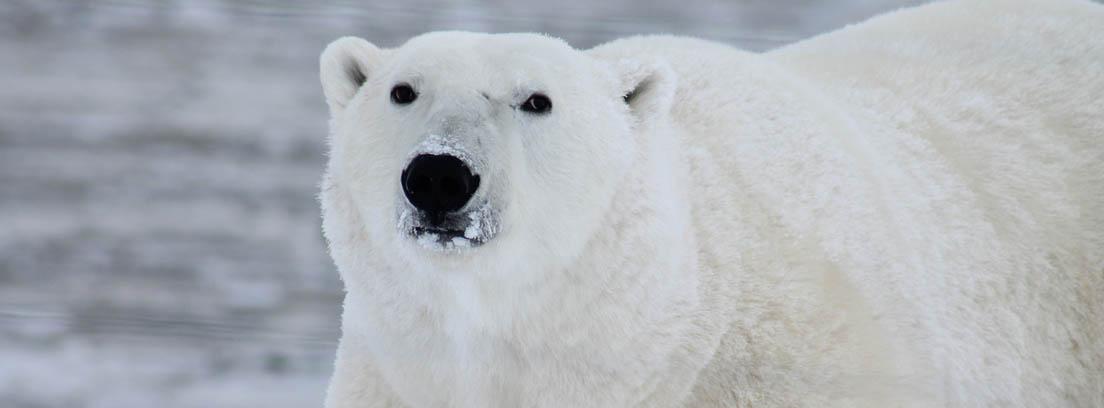 Gran oso polar blanco