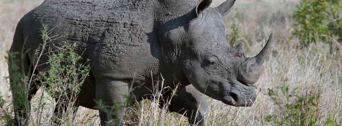 Rinoceronte entre hierbas y árboles.