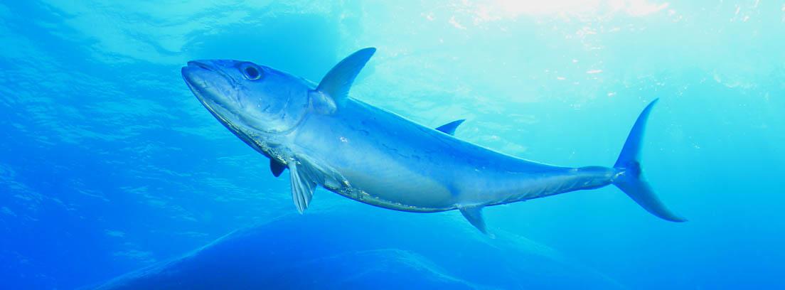 Atún rojo grande flotando bajo el agua con otros peces.