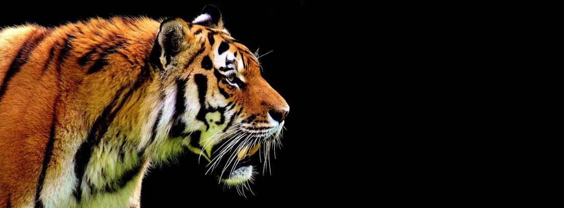 Vista parcial de cabeza y patas delanteras de tigre avanzando sobre hierba