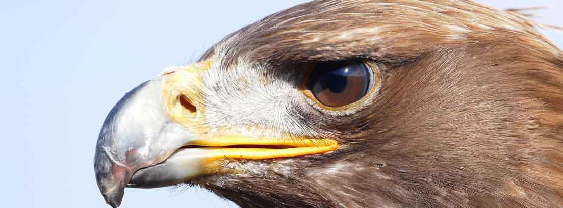 Cabeza de águila marrón