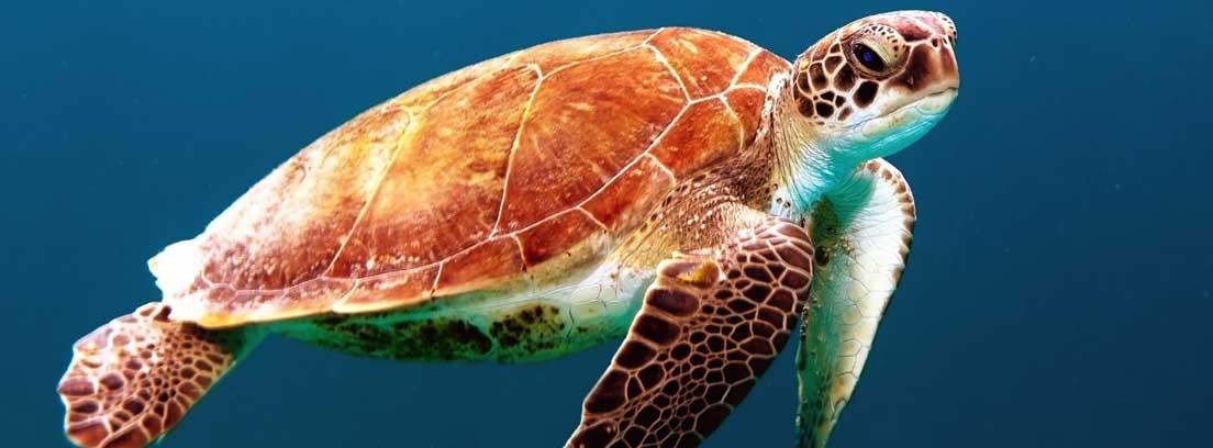 Tortuga marina flotando
