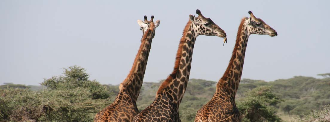 Tres jirafas juntas paradas entre árboles