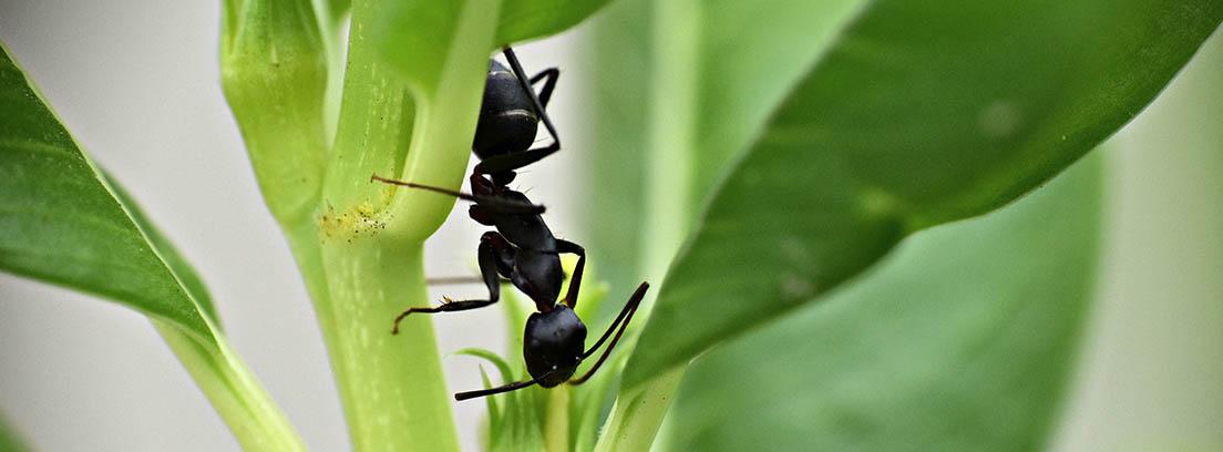 Dos hormigas negras en un tallo verde junto a hojas