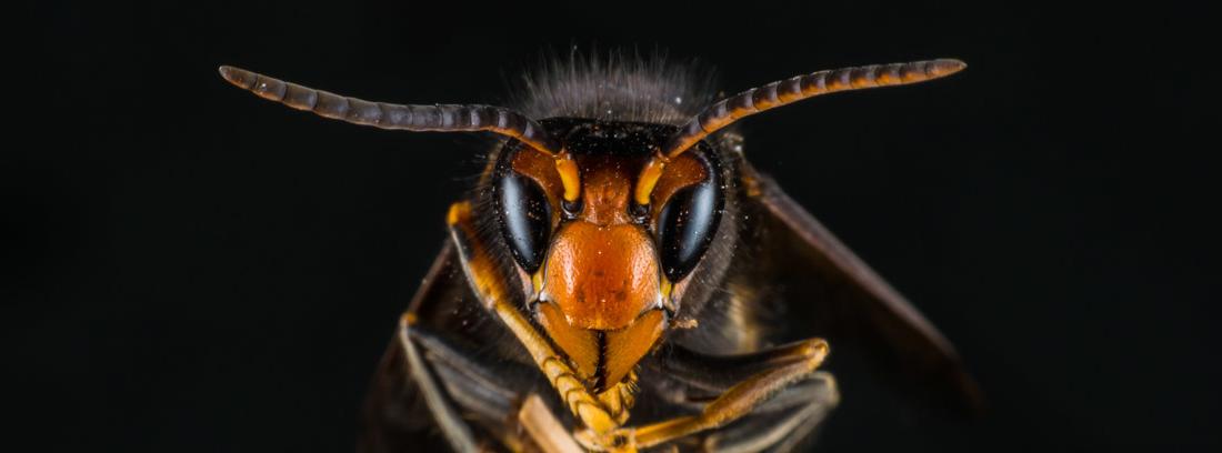 Cabeza de avispa velutina con antenas extendidas y patas unidas en el centro entre sí.