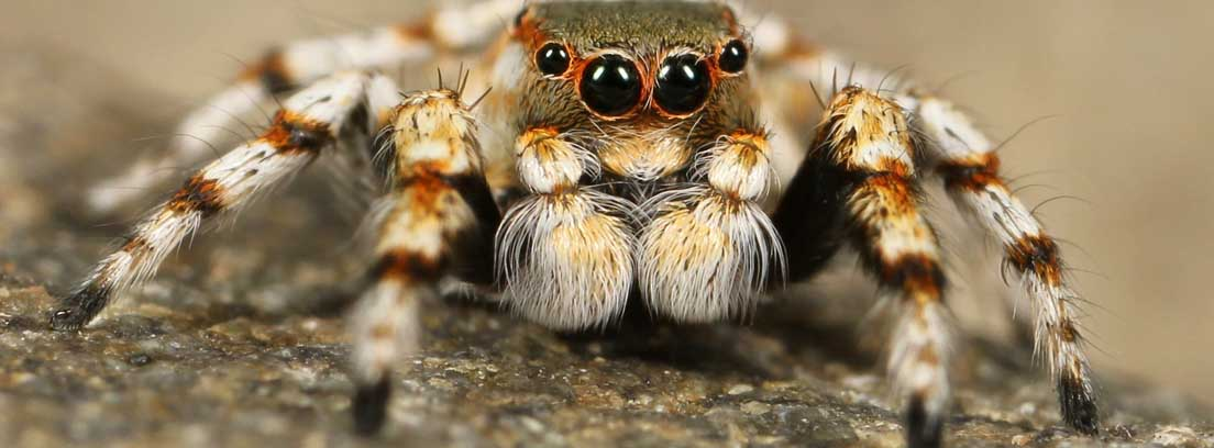 Araña de frente con ojos abiertos negros y paras peludas extendidas.