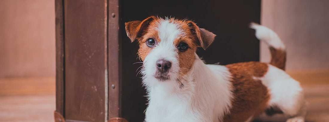perro marrón y blanco posa junto a una maleta de cuero marrón