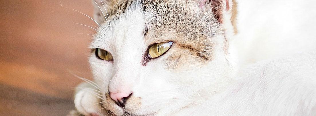 Un gato blanco con mirada triste recostado sobre una mesa