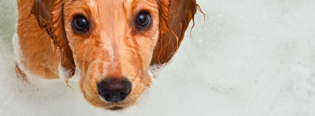 cachorro marrón recibiendo un baño de espuma