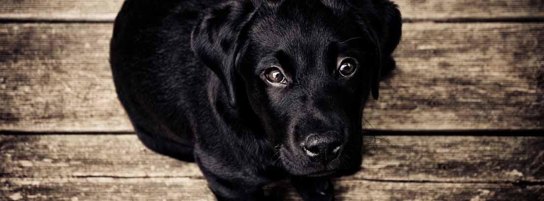 Perro negro sentado mirando hacia arriba