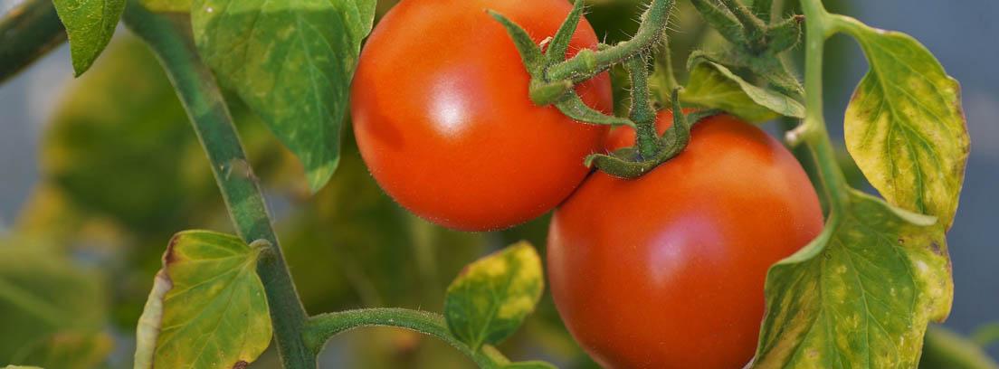 Dos tomates en una mata