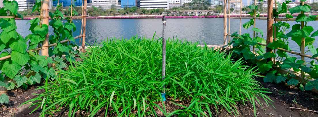 ¿Qué es la agricultura urbana y ayuda a la sostenibilidad?