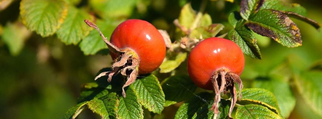 Fruto de la rosa mosqueta entre sus hojas