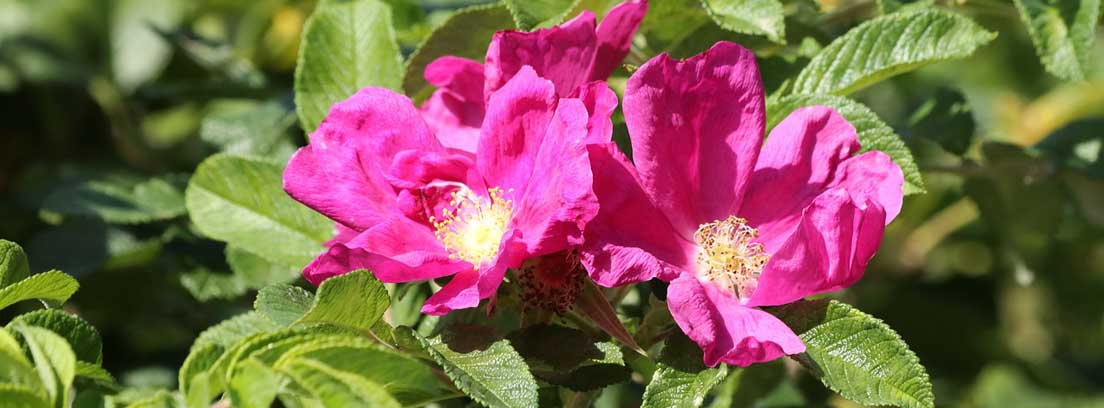 Flores de color rosa de planta de rosa mosqueta