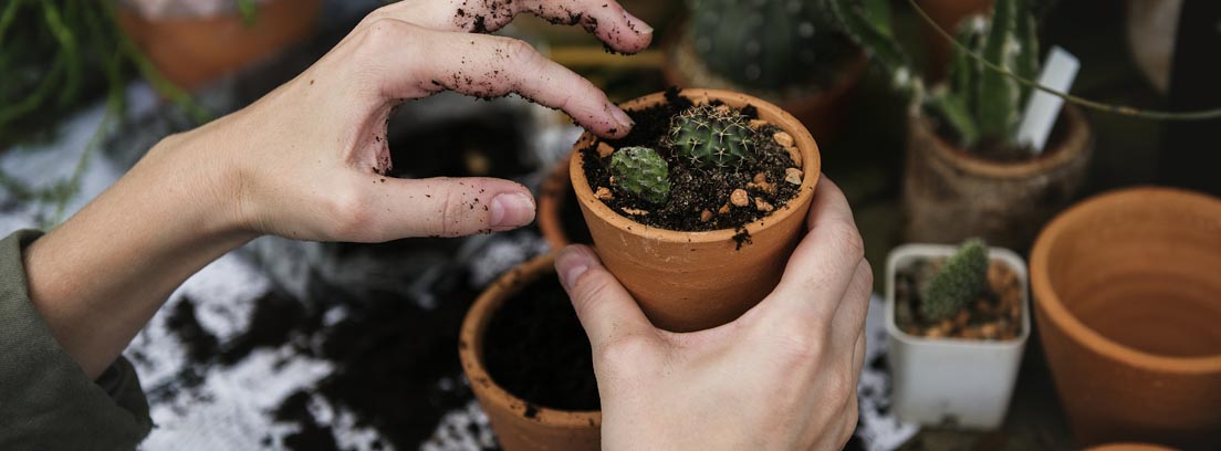 Manos plantado cactus en macetas de pequeño tamaño