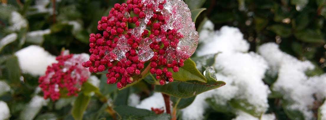 Durillo o laurel salvaje, una planta de invierno con flores
