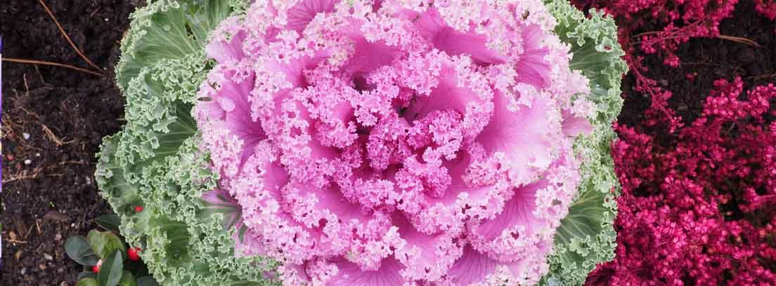 Brassica oleracea con las hojas centrales de color rosado