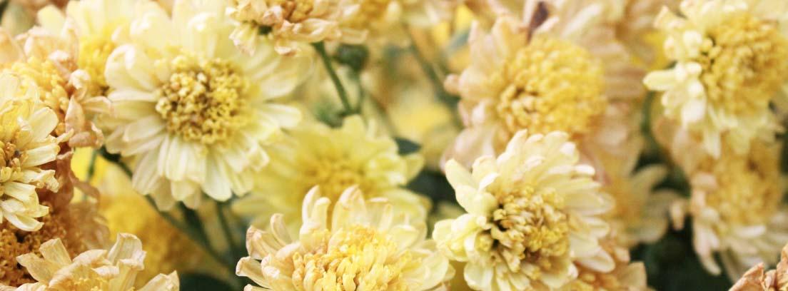 Crisantemos de tonos blanquecinos