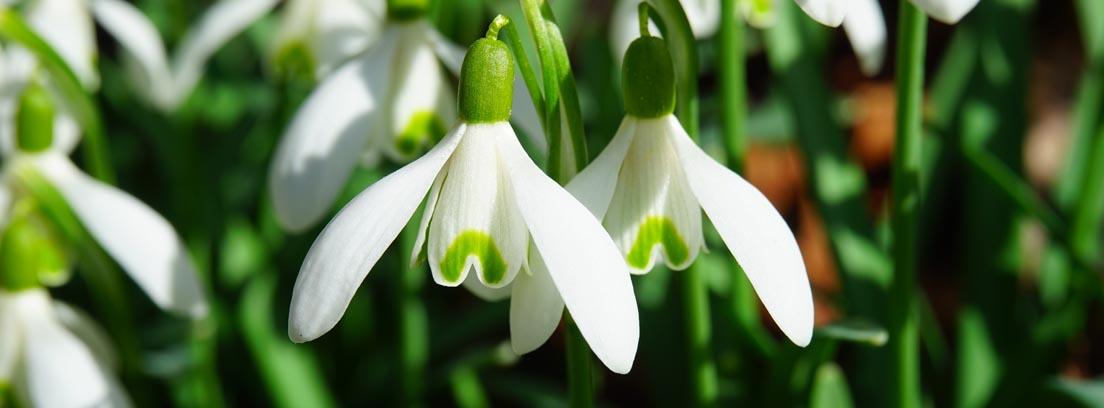 Flores blancas de galanthus