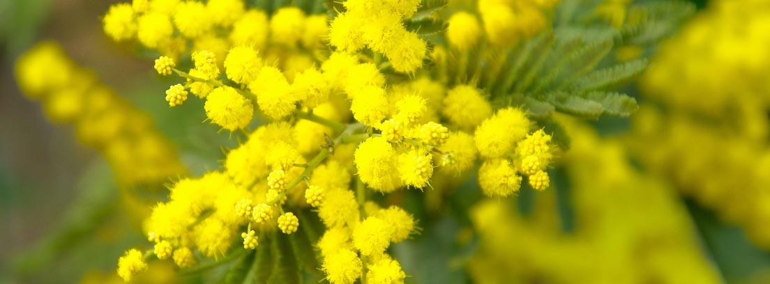 Detalle de pequeñas flores amarillas de la mimosa