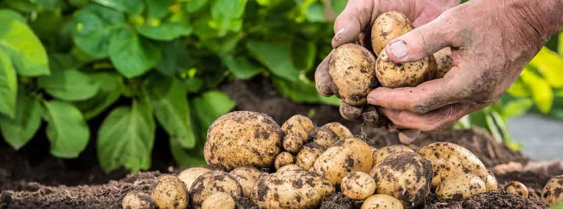 Manos sembrando patatas en la tierra