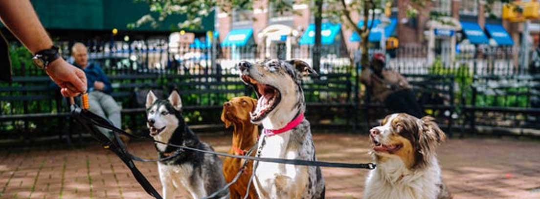 Cuatro perros sujetos con correa a una mismo dueño
