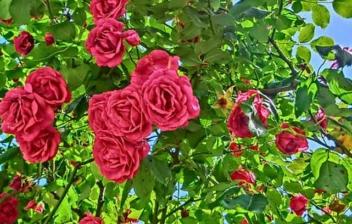 rosal emparrado