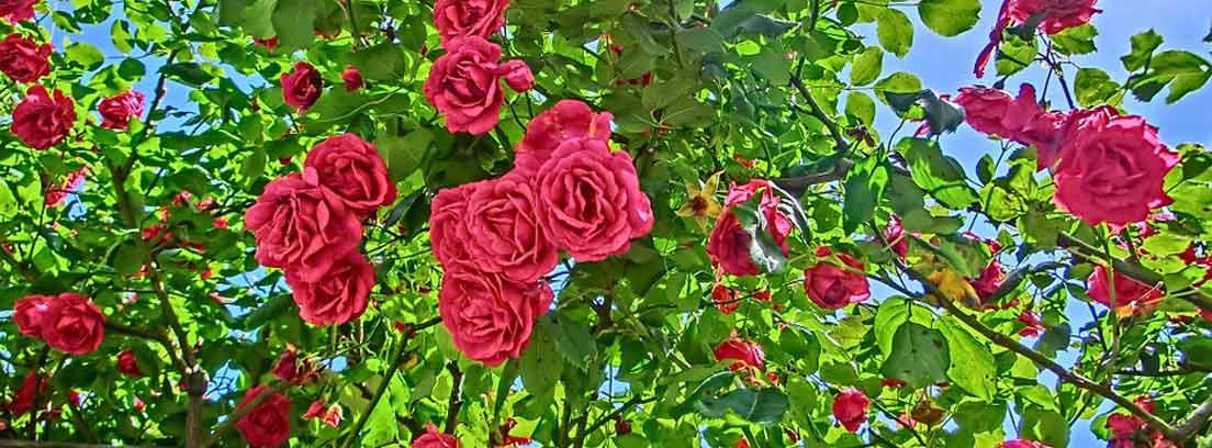 Enfermedades de los rosales y cómo tratarlas