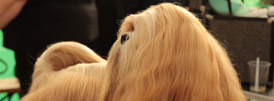 Pelo con pelo muy largo sobre camilla