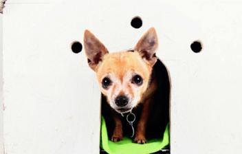 Un chihuaha en una casa para perros