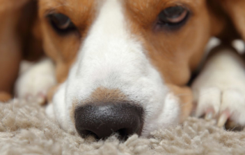 Perro con hocico sobre alfombra de olfato