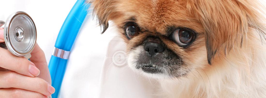 Perro al lado de un fonendoscopio con miedo al veterinario