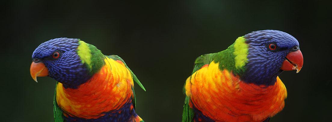 dos loros de colores