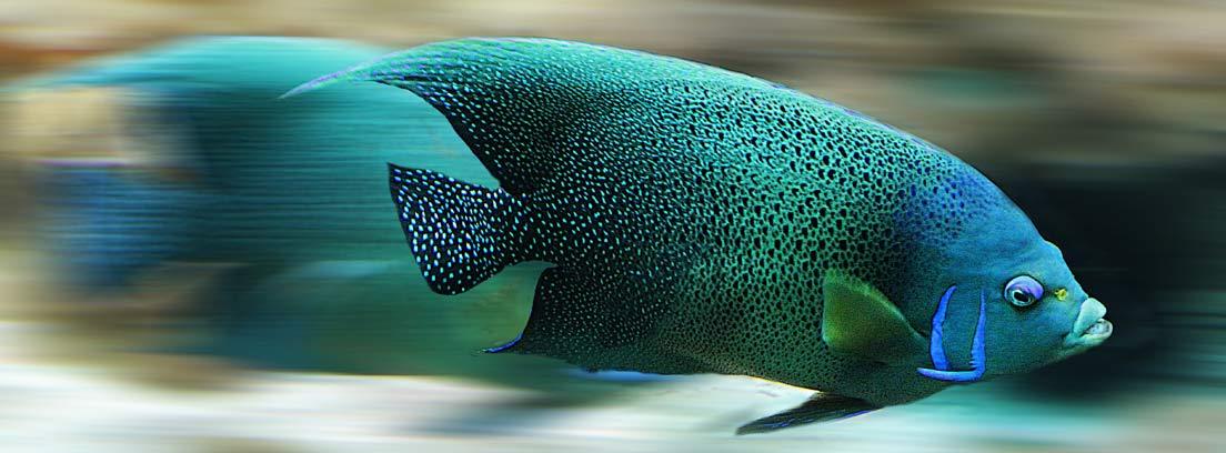 Pez azul en un acuario con efecto de velocidad
